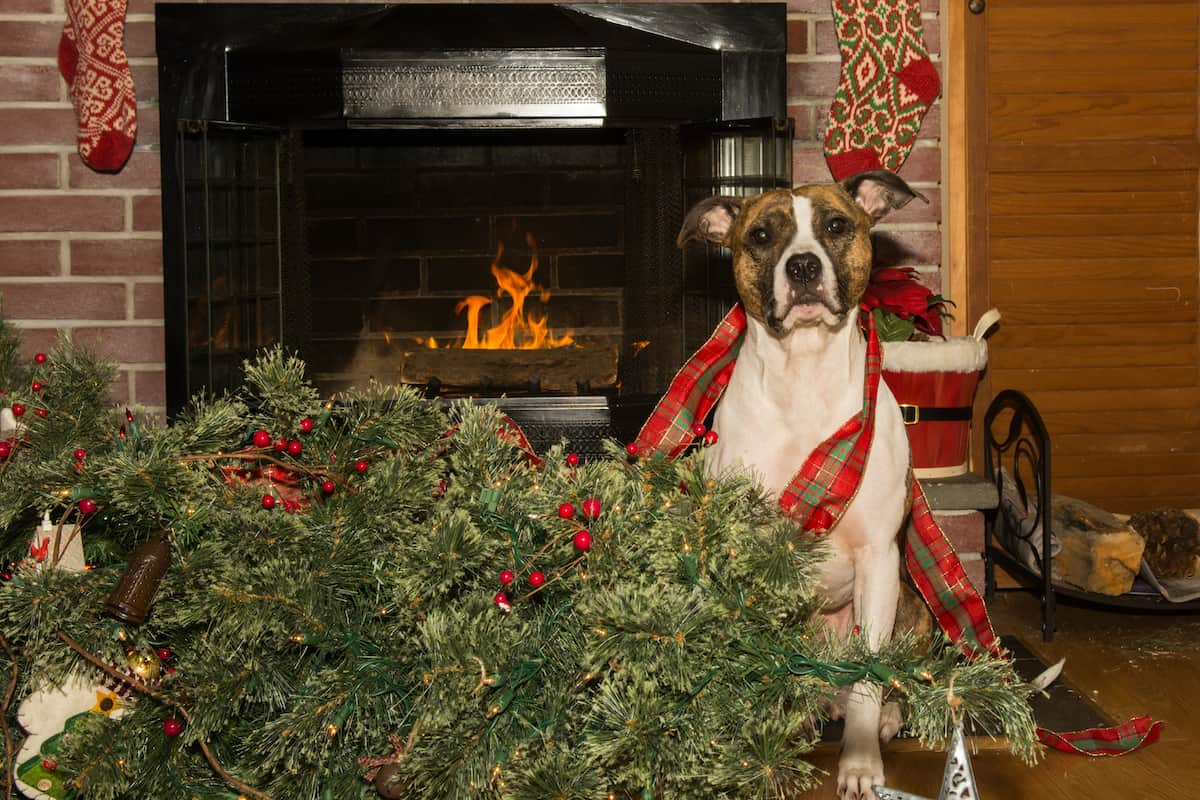Dog tangled up in ribbon beside a knocked over Christmas tree