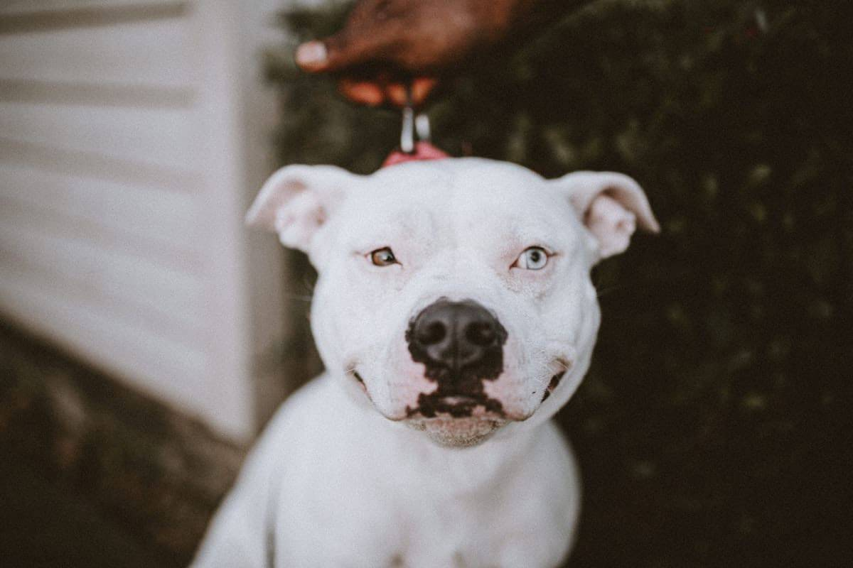 pit bull breed restrictions