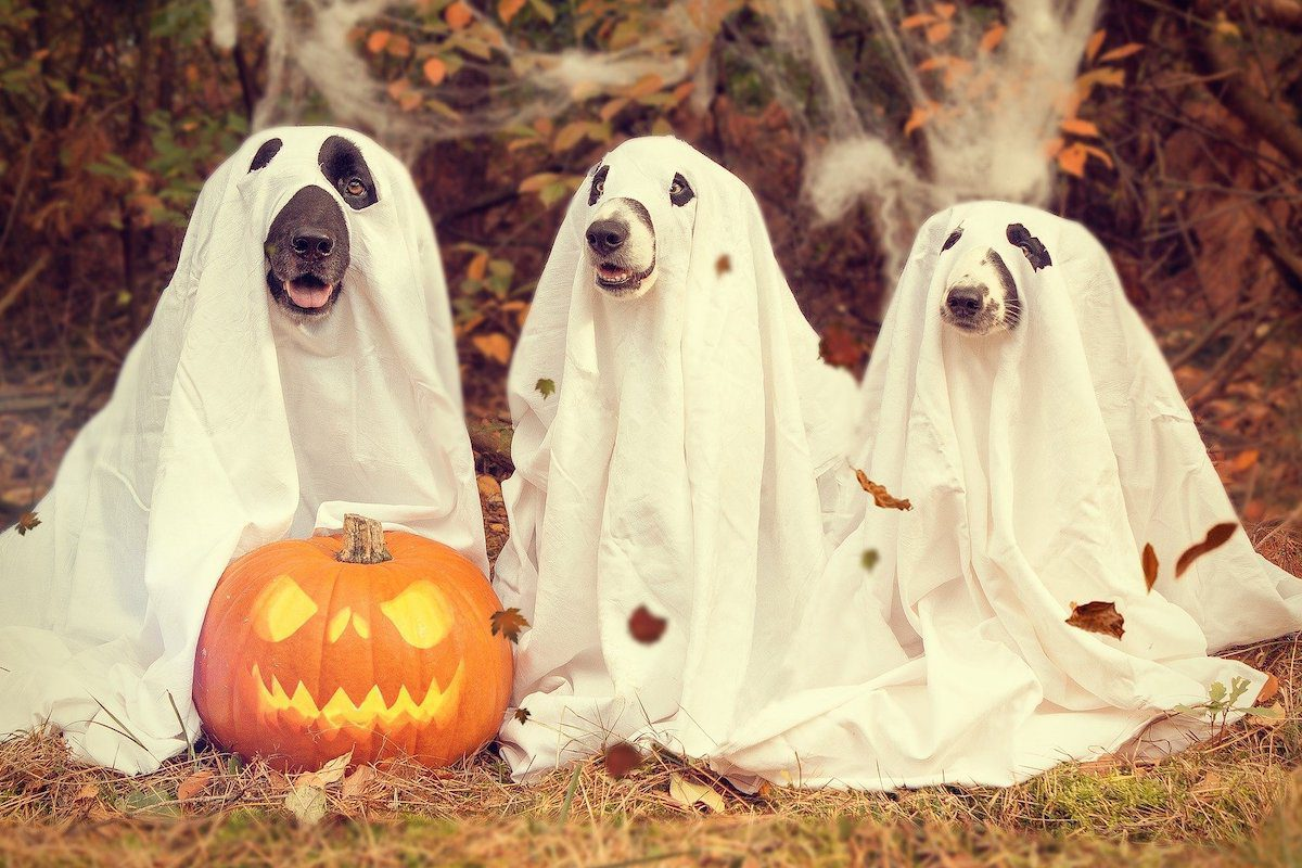 dogs dressed as ghosts Halloween virtual background